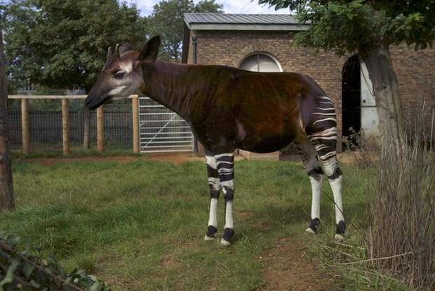 Photograph of an Okapi at London Zoo