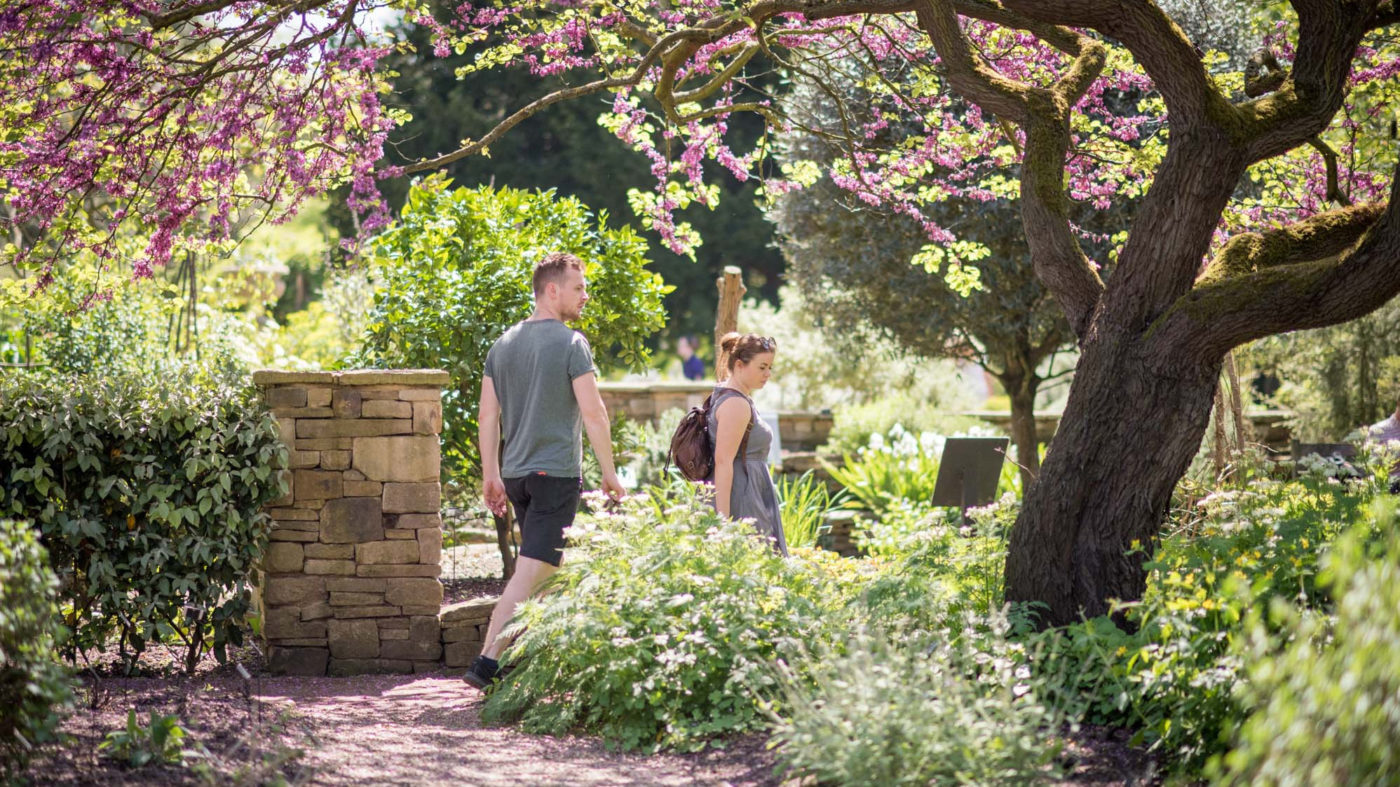 Two visitors explore the Chelsea Physic Garden. A women wearing a backpack, is partially hidden by a blossoming bush; a man behind her steps down the path, under a pink flowering tree.